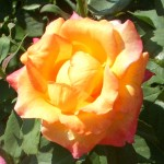 a rose from my garden